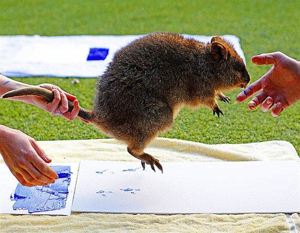 Zookeepers take the footprints of a Quokka