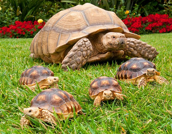 Five African-spurred tortoises