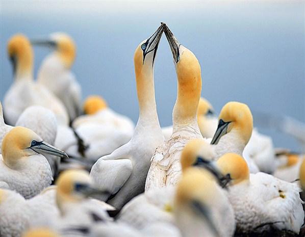 Gannets nest