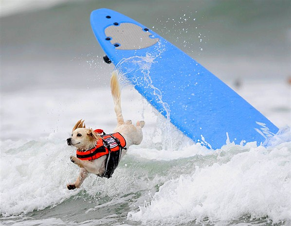 Cody the dog takes part in surfing competition