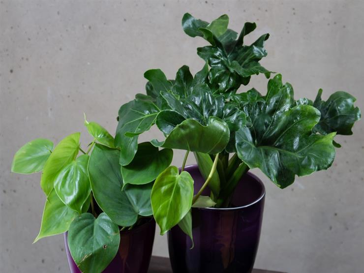 نبات الفيلودندرون