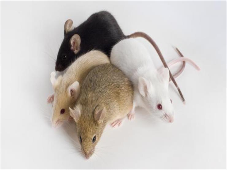 فئران صغيرة