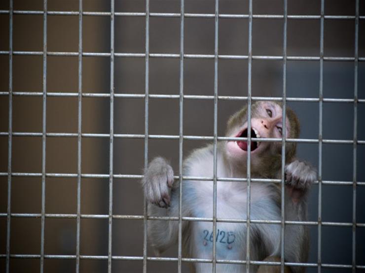 التجارب السريرية على القردة
