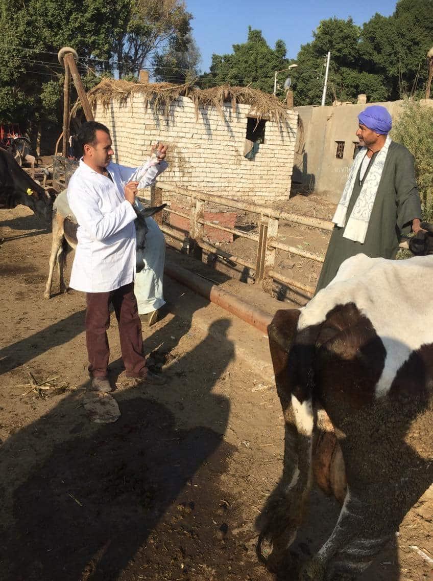 تحصين رؤوس ماشية بالمنيا (2)