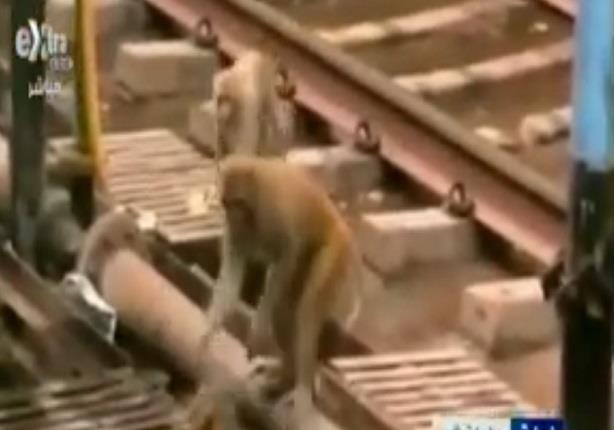 موقف انساني من قرد ينقذ أخر من الموت بعد تعرضه للصعق بالكهرباء