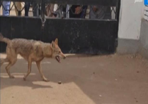 ذئب يقتحم مدرسة ابتدائي بالمنوفية