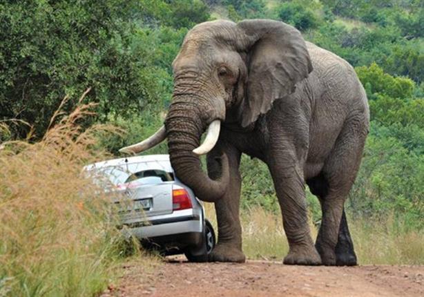 بالفيديو.. قطيع من الفيلة تهاجم سيارة
