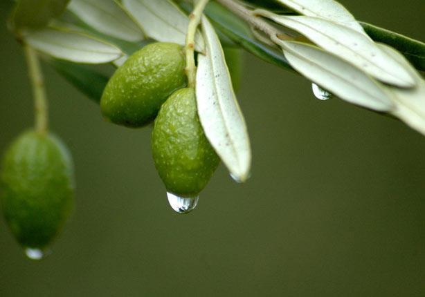 لأوراق شجرة الزيتون فوائد علاجية مُذهلة .. اكتشف
