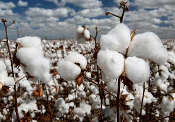 وزارة الزراعة تقرر وقف استيراد القطن من الخارج