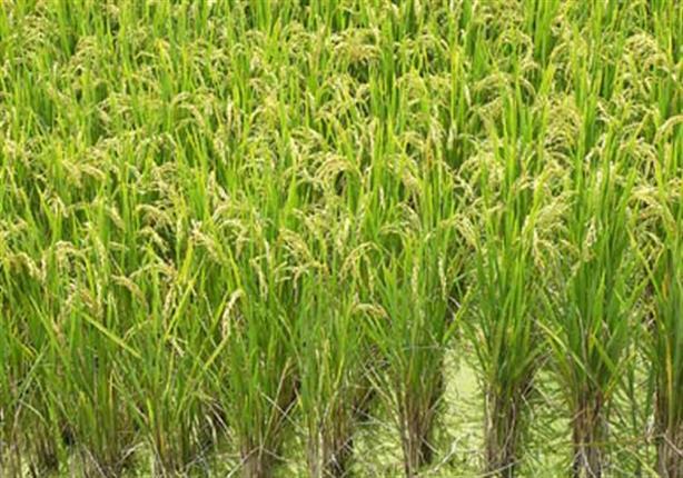 اتحاد الصناعات: 3 فوائد لمصر بعد فتح باب تصدير الأرز.. والفلاح سيستفيد