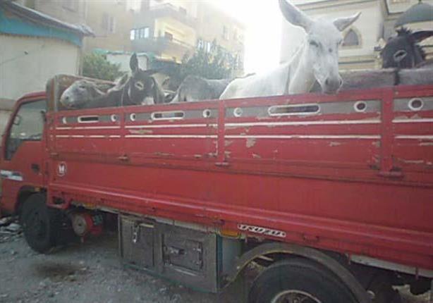 ضبط 18 حمارا بسيارة نقل بطريق الواحات