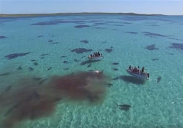 بالفيديو - أكثر من 70 سمكة قرش تفترس حوتا بالقرب من سواحل أستراليا