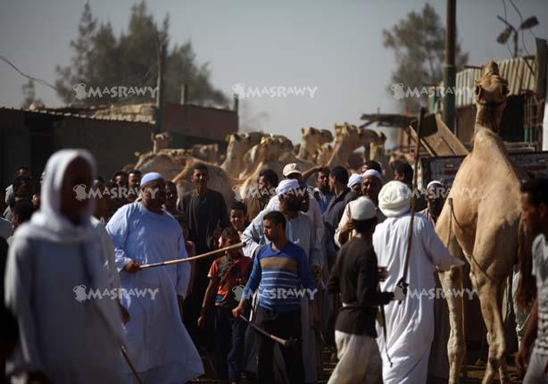 بالفيديو والصور - نرصد الاستعداد لأضاحي العيد في أكبر سوق للجمال بمصر