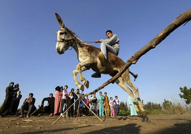 ماذا سيحدث لو انقرضت الحمير في مصر؟