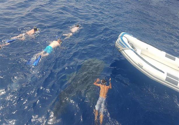 بالصور.. ظهور القرش الحوتى بشعاب صمداى في مرسى علم