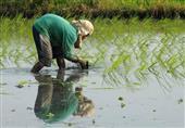 ثورة عطش قادمة.. بسبب تصدير الأرز (تحقيق)