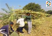 مزارعو دشنا يطالبون مصنع السكر بصرف مستحقاتهم المتأخرة
