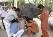 فيل تايلاندى بـ 3 أرجل يحصل على ساق صناعية