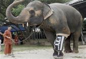 بالفيديو والصور: فيل بـ 3 أرجل يحصل على ساق صناعية