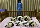 الاندبندنت: زيادة أعداد الباندا البرية في الصين بنسبة 17٪ منذ عام 2003