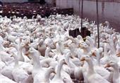 مستوردو البط: إيقاف استيراد ''المولر'' تسبب في خسائر هائلة ورفع الأسعار