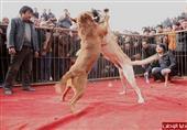 مصارعة كلاب في الصين