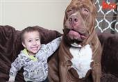أضخم وأشرس كلب بيتبول فى العالم
