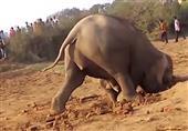 فيل يقضي 11 ساعة لإنقاذ رضيعه الغارق في الوحل