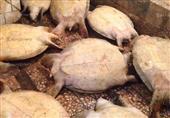 """بالصور- ضبط تاجرين قبل بيعها 9 """"سلاحف"""" في سوق السمك بالإسكندرية"""