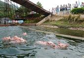 بالصور - الخنازير تستحم