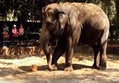 """بالفيديو.. لحظة تقديم """"أيس كريم"""" كوجبة خاصة للأفيال بحديقة حيوان الجيزة"""