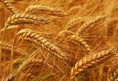 تجار: مصر تتلقى عروضًا في مناقصة لشراء القمح