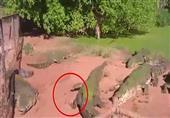 تمساح جائع يلتهم ذراع آخر بحديقة حيوان في أستراليا