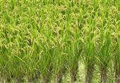 وقف تصدير الأرز.. هل يشعل حرب التهريب ويقضي على الفلاحين والصناعة؟