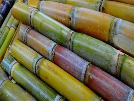 السيسي يوجه بزيادة أسعار توريد قصب السكر 20 جنيهًا