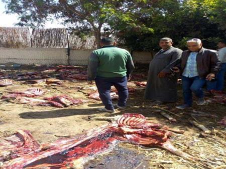 حكاية العثور على 33 حمارًا مذبوحًا بالجيزة - (صور وفيديو)