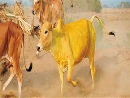 علي جمعة يكشف عن أحد الدروس المستفادة من قصة البقرة في القرآن.. تعرف عليه
