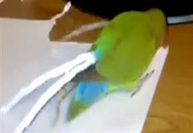 ببغاء صغير يصنع لنفسه ذيلاً بديلاً من الورق