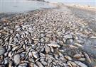 """""""البيئة"""" توضح اسباب ظاهرة نفوق الأسماك بالإسكندرية"""