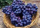 العنب البرى مضاد للأكسدة يحسن الرؤية الليلة