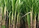 التموين تسدد 1.7 مليار جنيه باقي مستحقات مزارعي وموردي قصب السكر