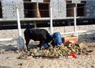 هل يجوز أكل الحيوانات التي تتغذى على النفايات؟