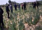 ضبط ربع طن بانجو بمزرعة في الصف
