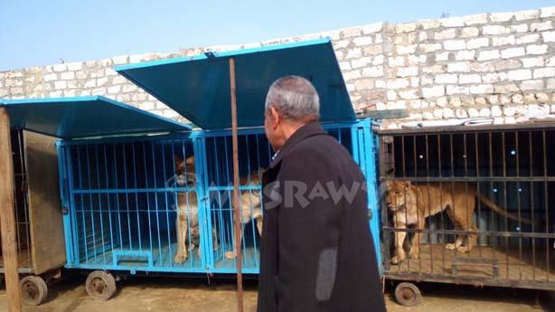 بالصور 8 أسود يتسببون بالذعر في المنوفيه وقوات الأمن تتعامل معهم 2 15/1/2017 - 3:16 ص
