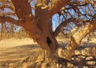 بالصور .. شاهد الشجرة التي استظل تحتها النبي في رحلته للشام