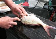 بالفيديو: طريقة تنظيف السمك بطريقة صحيحة