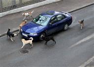 بالفيديو.. شيئ غامض يدفع كلاب ضالة إلى تمزيق سيارة في تركيا!