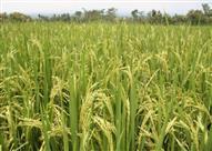 الإحصاء: 12% انخفاضاً في كمية إنتاج الأرز عام (2014-2015)