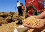 خطايا الحكومة تلهب موسم القمح وتكوي الفلاحين (تقرير)