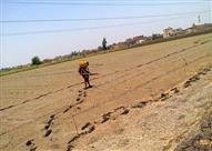 زراعة الدقهلية تزيل شتلات الأرز.. والفلاحين : خالفنا القانون لمواجهة